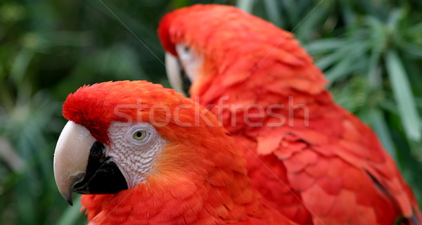 Scarlet Macaws Stock photo © hlehnerer