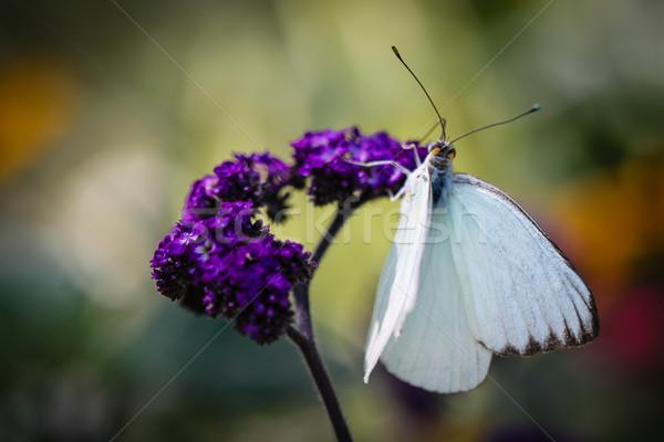 южный белый красочный цветы бабочка Сток-фото © hlehnerer