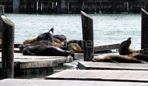 Sea Lions Stock photo © hlehnerer