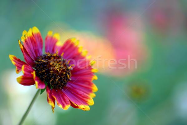 California Blanket Flower Stock photo © hlehnerer