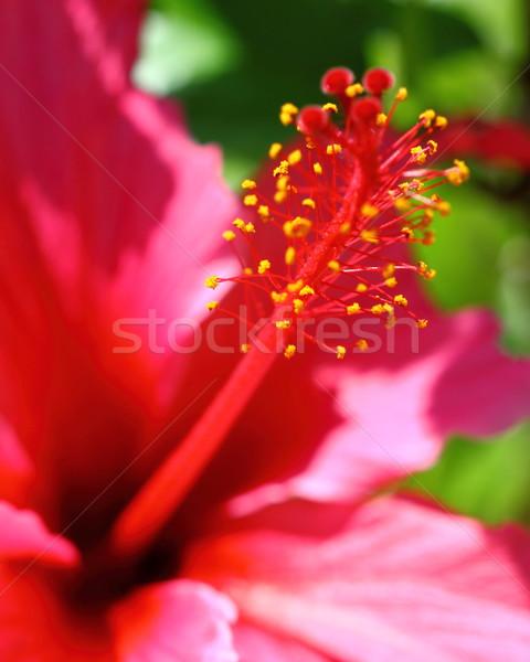 Hibiscus Stock photo © hlehnerer