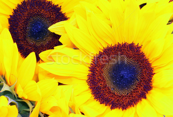 Sunflower Stock photo © hlehnerer