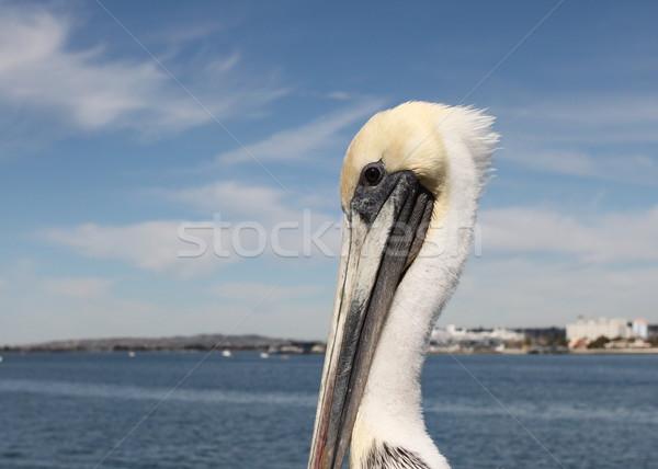 San Diego Pelican Stock photo © hlehnerer
