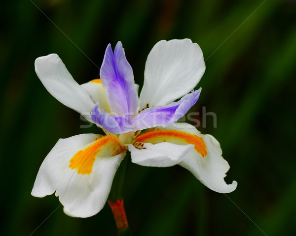 Iris sauvage fée coloré Nice nature Photo stock © hlehnerer