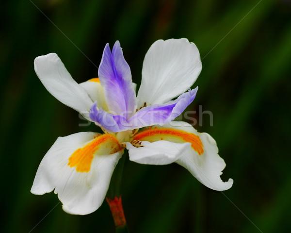 Iris фея красочный Nice природы Сток-фото © hlehnerer
