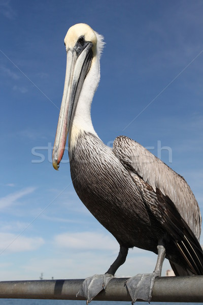 Pelican Stock photo © hlehnerer