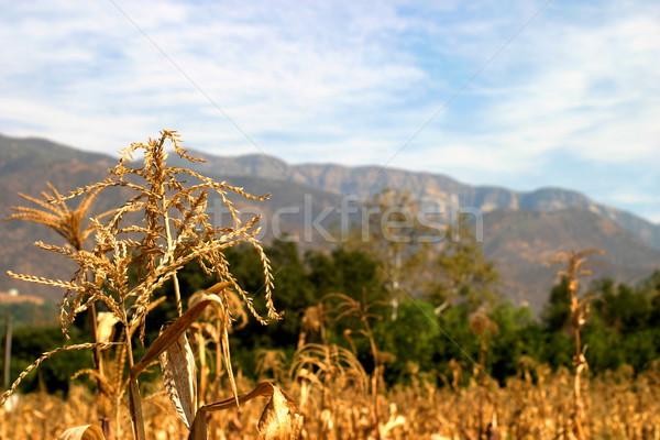 Harvest Time Stock photo © hlehnerer