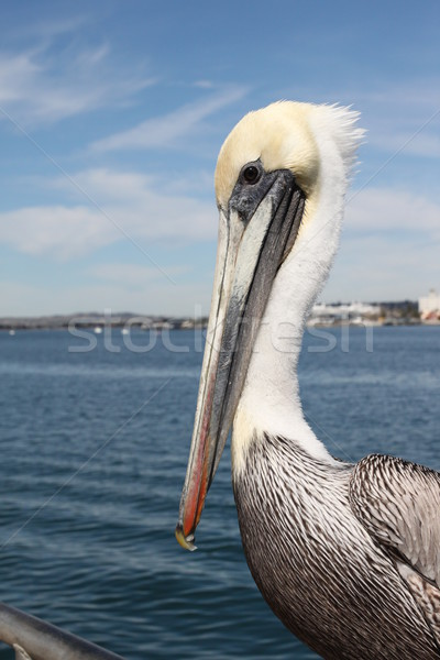 Pelican Stock photo © hlehnerer
