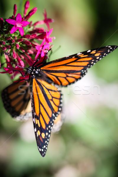 Színes pillangó természet kert szépség fekete Stock fotó © hlehnerer
