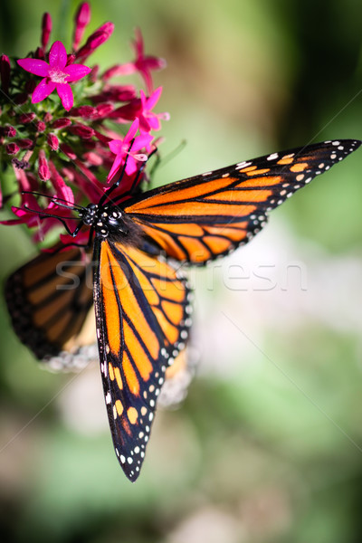 Colorido borboleta natureza jardim beleza preto Foto stock © hlehnerer