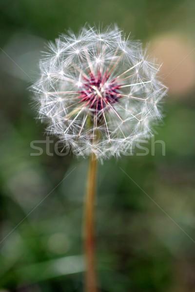 Paardebloem zaad hoofd vol wazig natuurlijke Stockfoto © hlehnerer
