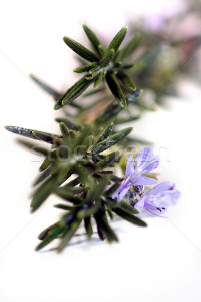 Rosemary Stock photo © hlehnerer