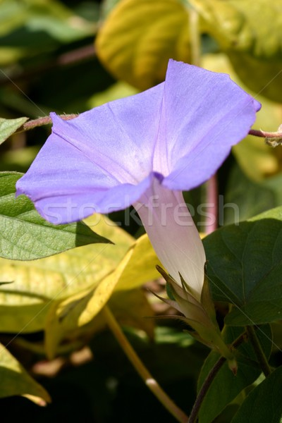 Purple Morning Glory Stock photo © hlehnerer