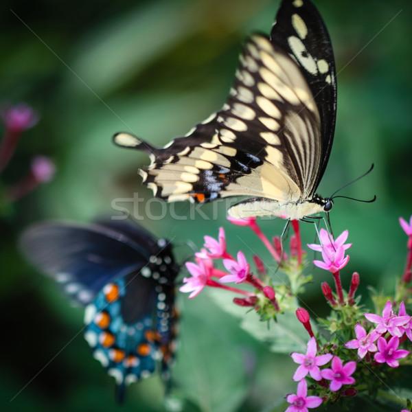 Giant Swallowtail Papilio Cresphontes Stock photo © hlehnerer