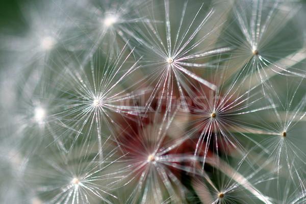 Stock photo: Dandelion Seed Head