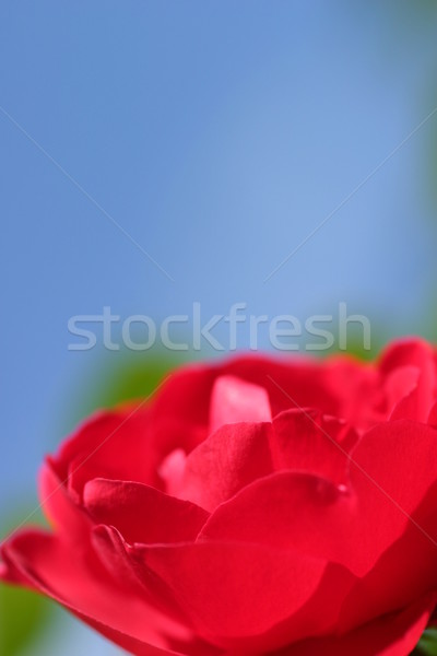 Stock photo: Red Rose Blue Sky