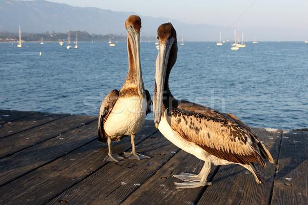 California Pelicans Stock photo © hlehnerer