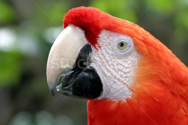Scarlet Macaw Stock photo © hlehnerer