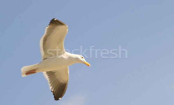 Seagull Stock photo © hlehnerer