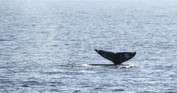 Szürke bálna farok néz csatorna szigetek Stock fotó © hlehnerer