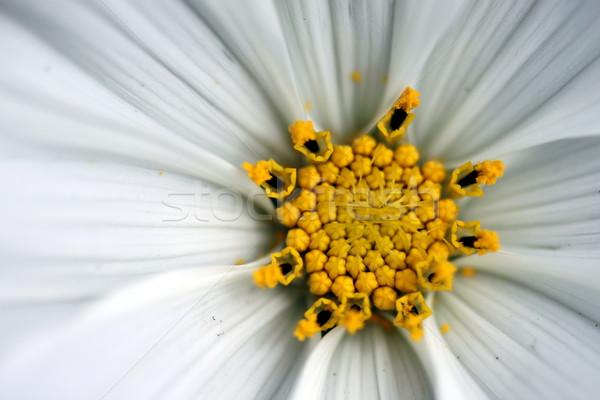 Sonate witte macro bloem bloemen Stockfoto © hlehnerer