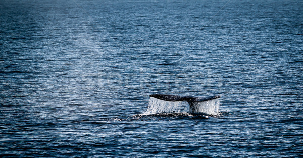 Gri balina kuyruk izlerken kanal Stok fotoğraf © hlehnerer