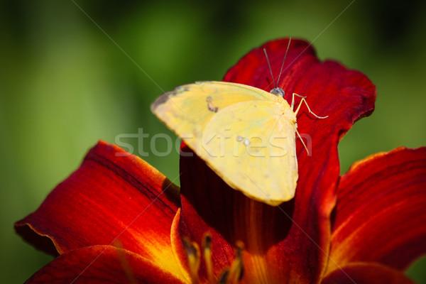 Sem nuvens colorido borboleta sessão vermelho lírio Foto stock © hlehnerer