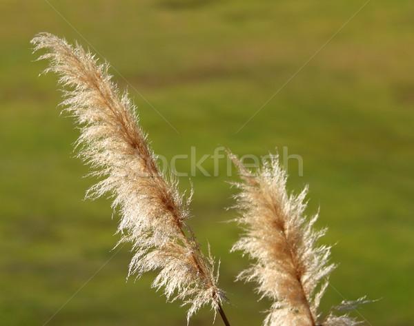 Gras licht omhoog zon groene Stockfoto © hlehnerer