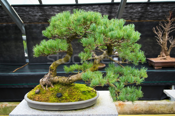 An old bonsai tree Stock photo © Hochwander