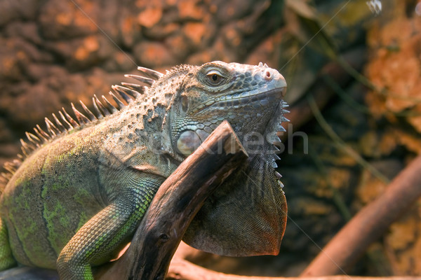 iguana Stock photo © Hochwander