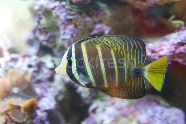 tropical world  - Zebrasoma desjardini, Sailefin Tang Stock photo © Hochwander