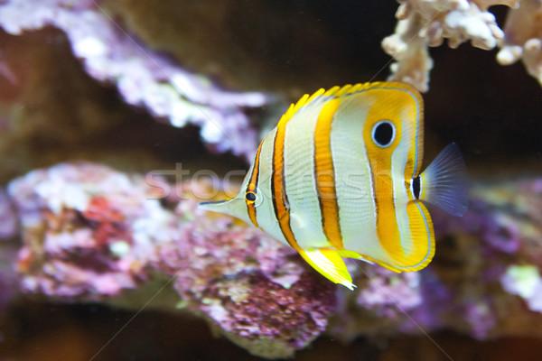 tropical world, - Chelmon rostratus, Copperband butterflyfish Stock photo © Hochwander