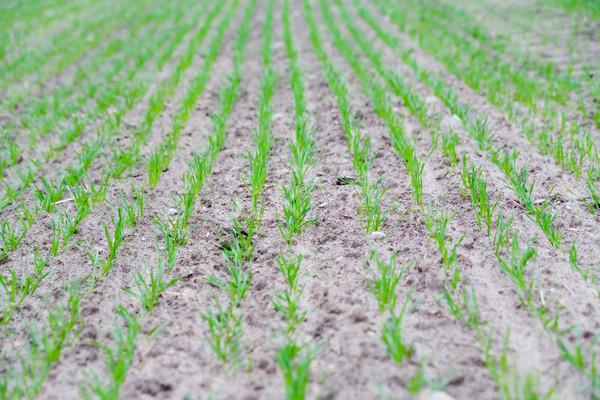 молодые зерна весны области осень Сток-фото © Hochwander