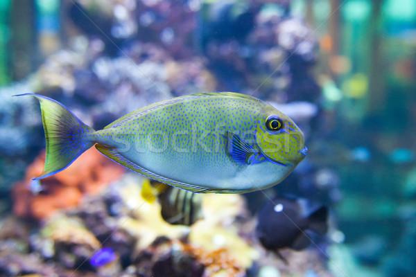 tropical world  - Naso vlamingi, Bignose Unicronfish Stock photo © Hochwander