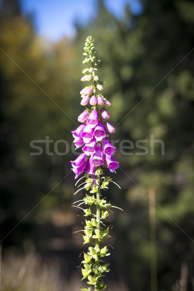 Paars natuur tuin Rood kleur plant Stockfoto © Hochwander