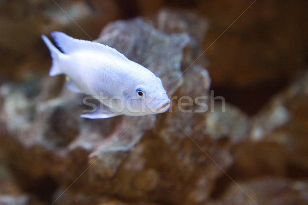 tropical world - Pseudotropheus sp. red-top ndumb Stock photo © Hochwander