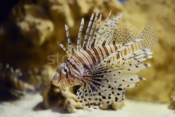 lionfish pterois volitans Stock photo © Hochwander