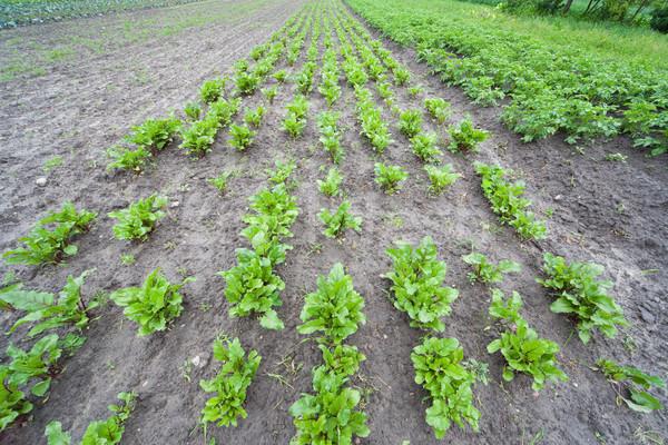 Saine écologique plantation betterave Pologne photo Photo stock © Hochwander