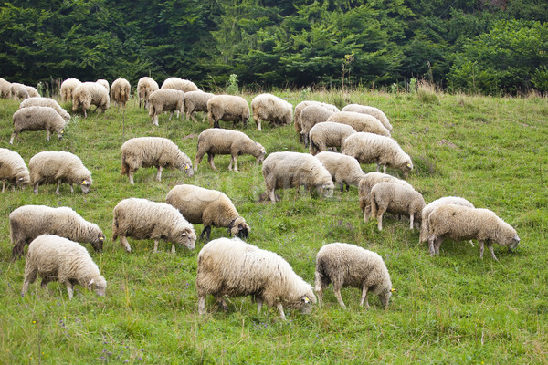 pack of sheeps on the grass Stock photo © Hochwander