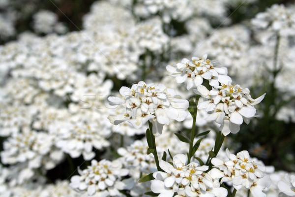 Fiore bianco giardino colore impianto bianco sementi Foto d'archivio © Hochwander