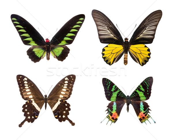 экзотический красочный бабочки четыре изолированный белый Сток-фото © Hochwander