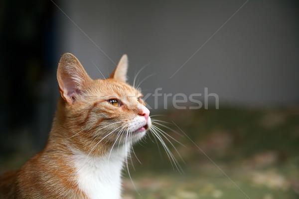 watching cat Stock photo © Hochwander