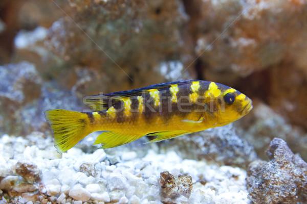tropical world - Nimbochromis venustus Stock photo © Hochwander