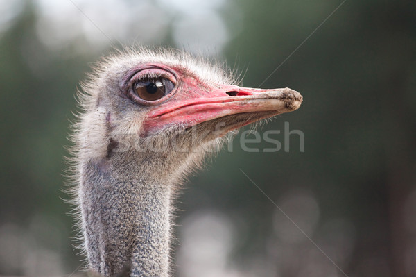 Stock photo: ostrich watching for something