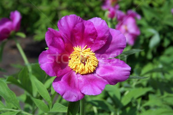 purple flower in the garden Stock photo © Hochwander