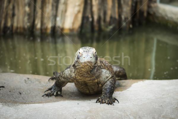 モニター トカゲ 水 湖 頭 動物 ストックフォト © Hochwander