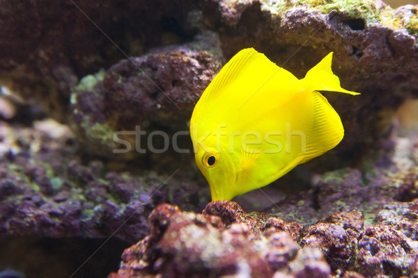 tropical world - Zebrasoma flavescens, Yellow Tang Stock photo © Hochwander