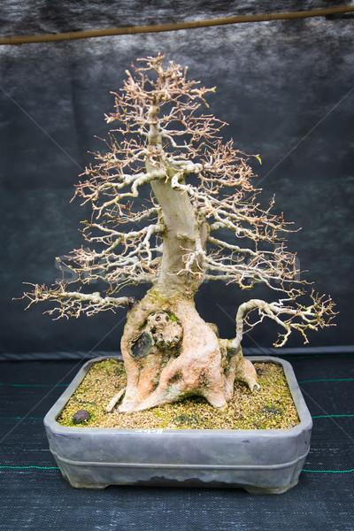 Oude bonsai boom botanische tuin hout kunst Stockfoto © Hochwander