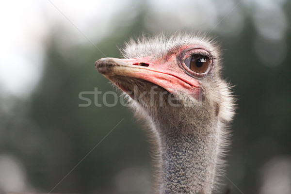 ostrich watching for something Stock photo © Hochwander