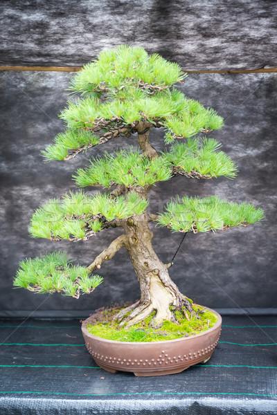 盆栽 松 ツリー 植物園 木材 芸術 ストックフォト © Hochwander